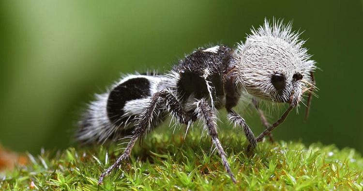 Semut panda-binatang imut