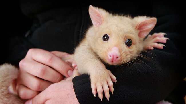 Golden Brushtail Possum-binatang imut