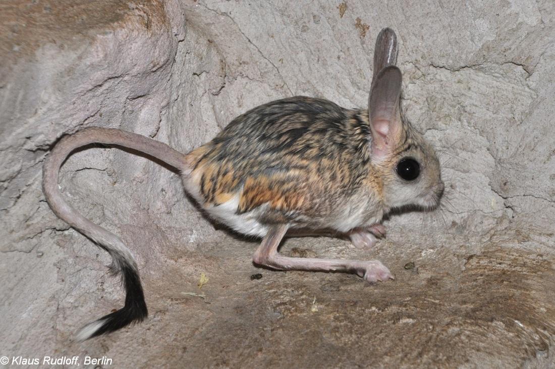 long ear jerboa-binatang imut