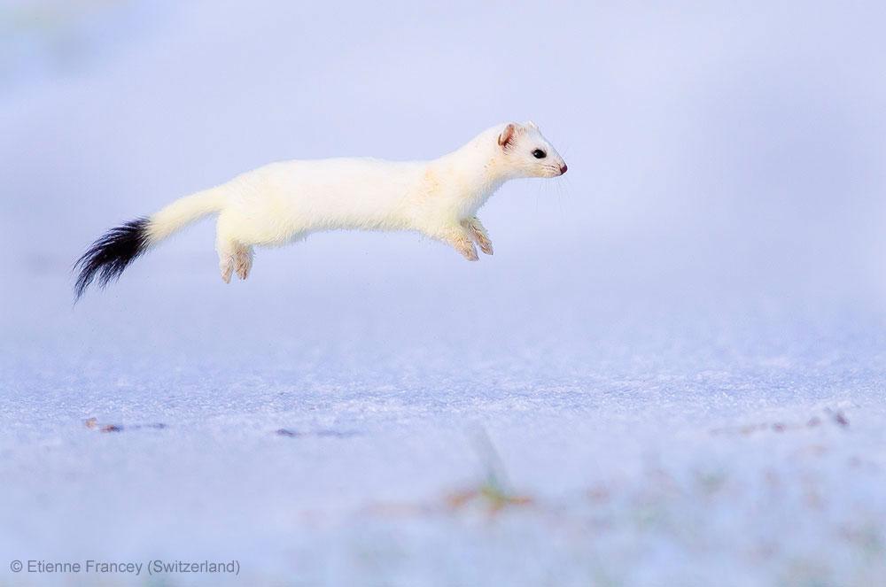 Stoat-binatang imut