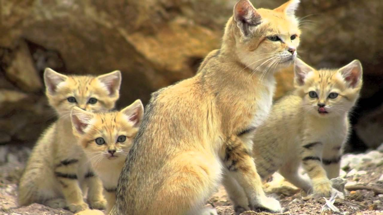 kucing pasir-binatang imut