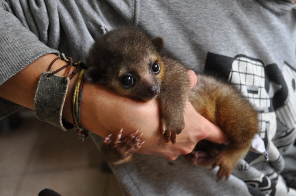 Kinkajou-binatang imut