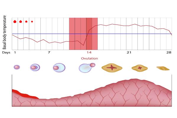 cari tahu kapan waktu ovulasi