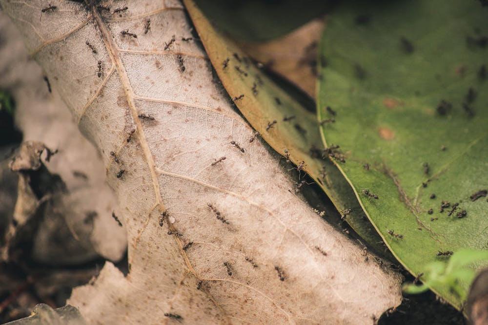 cara ampuh mengusir semut