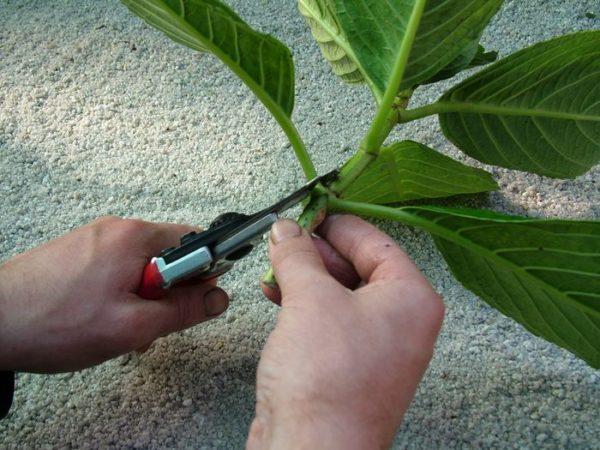membuang daun dengan gunting
