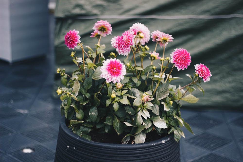 cara merawat bunga agar tahan lama