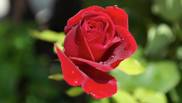 makna bunga mawar