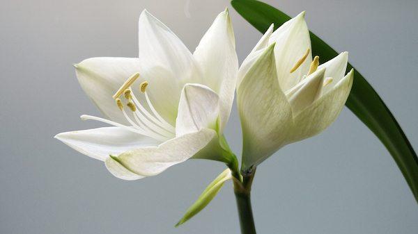makna bunga lili
