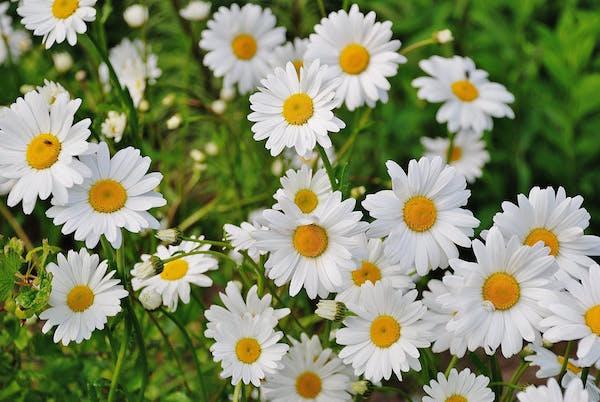 makna bunga daisy
