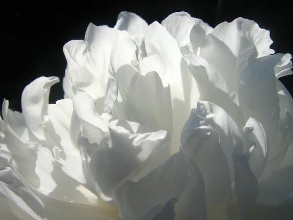 makna bunga gardenia