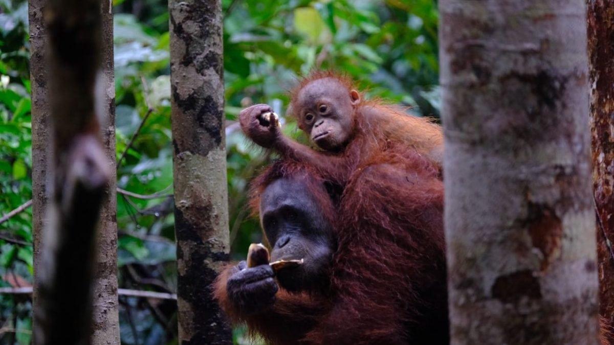 Wajib Coba! Menjelajahi Sungai Sekonyer dan Mengunjungi Orang Utan di Tanjung Puting