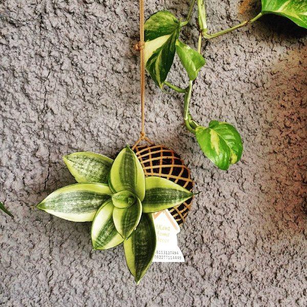 tanaman hias kekinian