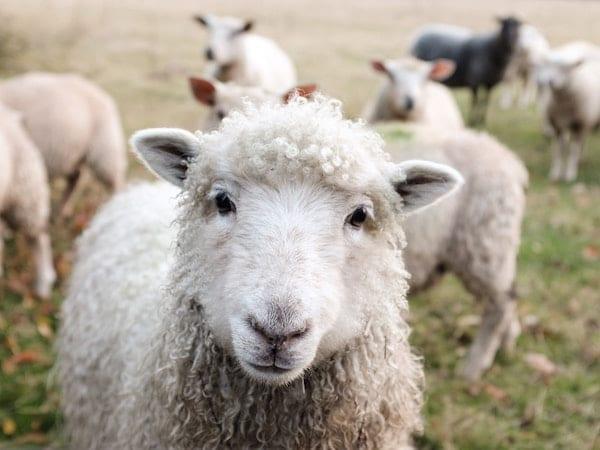 peruntungan shio kambing 2019