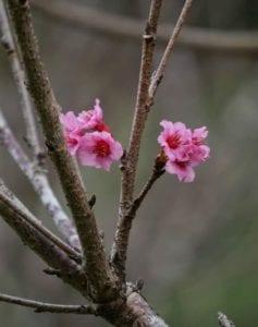 Taman Sakura Kebun Raya Cibodas