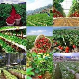 kebun petik strawberry