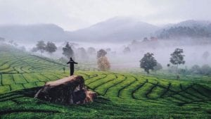 perkebunan teh patuahwatte