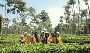 kebun teh gedeh