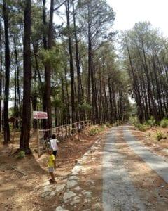 Hutan Pinus Gumiwang Lor