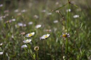 bunga daisy di Gunung Prau.
