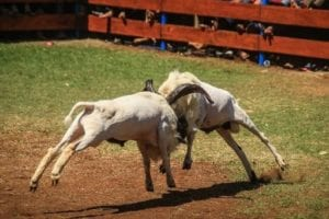Adu Ketangkasan Domba