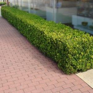 tanaman pagar Boxwood