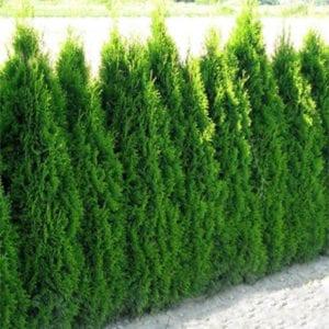 tanaman pagar cemara kipas