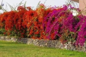 tanaman pagar bougenville