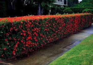 tanaman pagar bunga soka