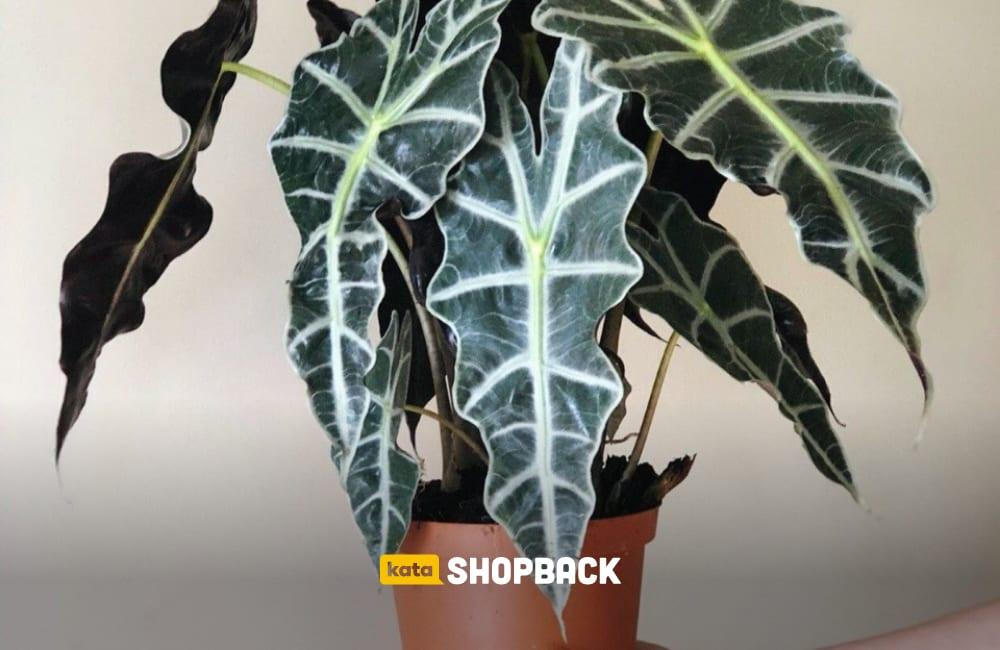 tanaman daun populer