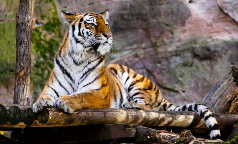 Tiger perched on a wooden porch
