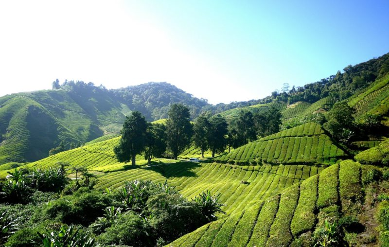 Vast green tea plantations at Cameron Highlands