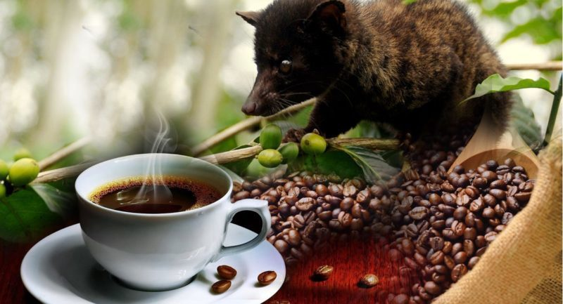 coffee plantationv luwak coffee
