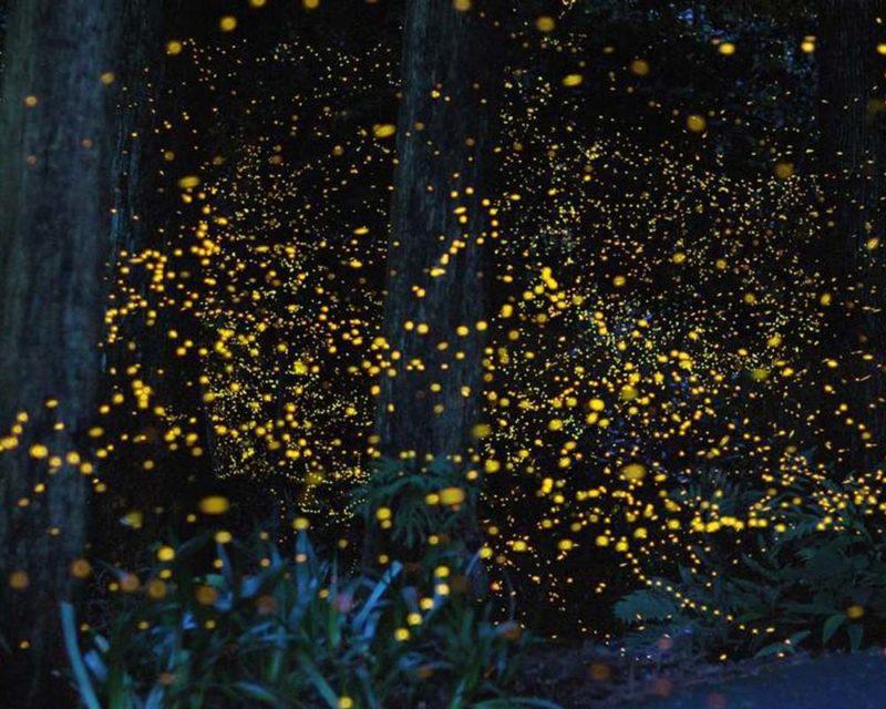 fireflies in kuala selangor