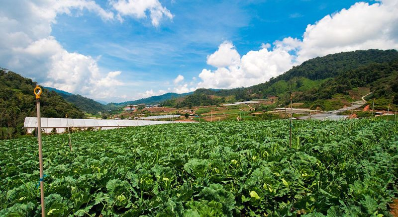 A patch of vegetable at a farm in Cameron Highlands