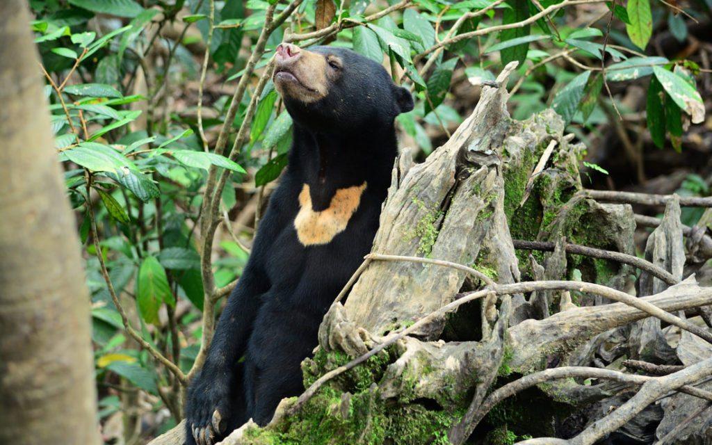 Bornean Sun Bear resting in its natural habitat in Sabah