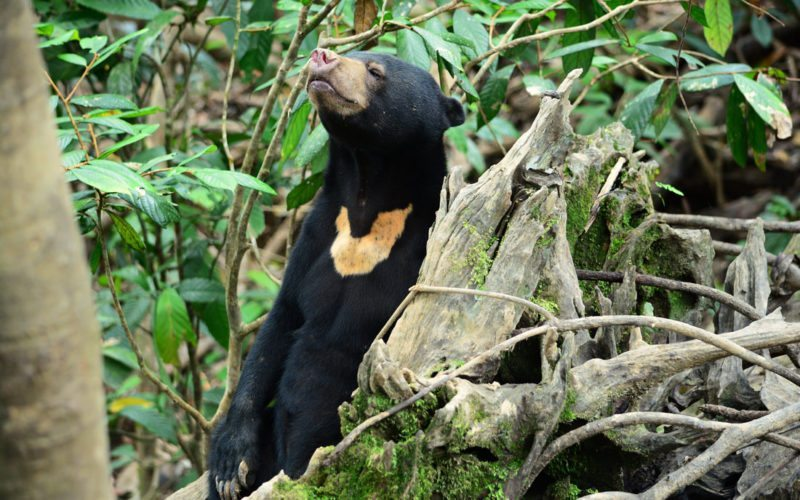 Bornean Sun Bear resting in its natural habitat in Sabah
