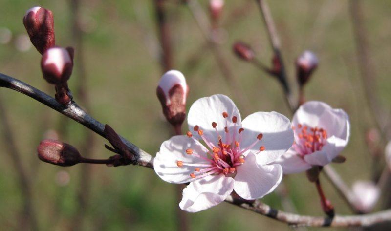 Cherry Blossom Tree Cherry Plum Blossom Plum