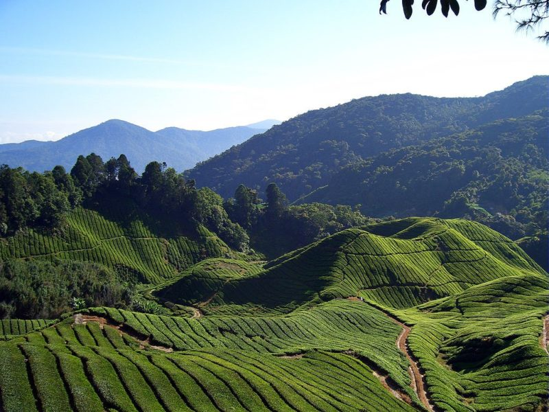 Malaysia, top tours, Cameron Highlands, tea plantation, strawberry farm