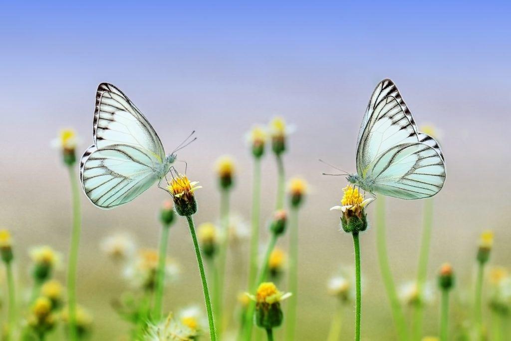 2 butterflies landing on flowers