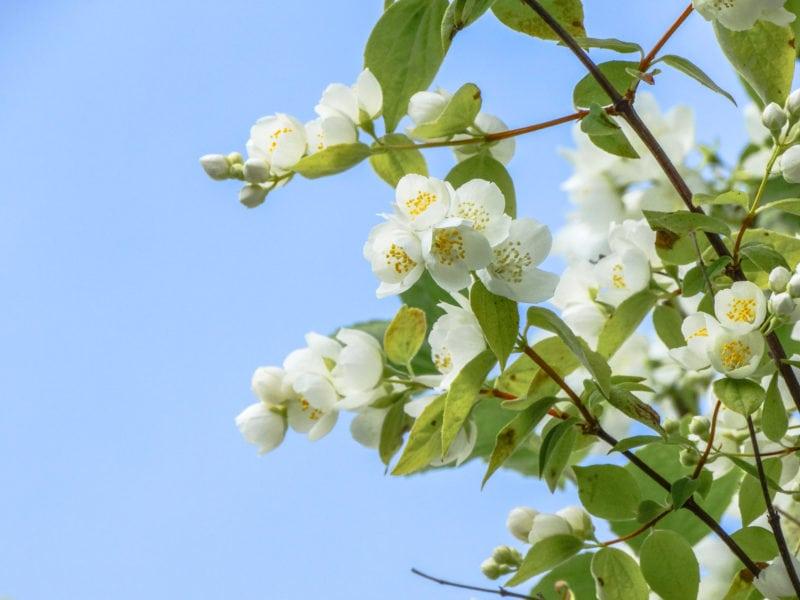jasmine flower scent note