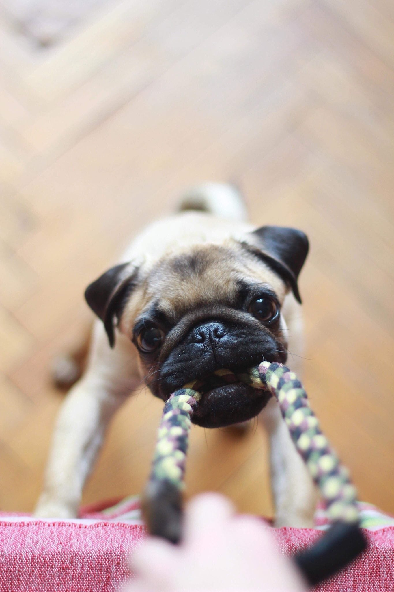 cute dog pulling on rope
