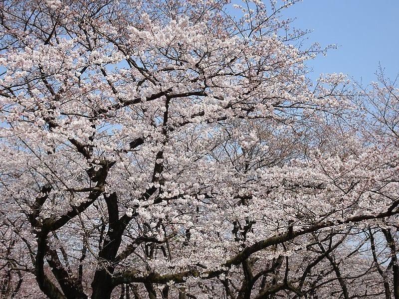 Sakura Trees in tokyo