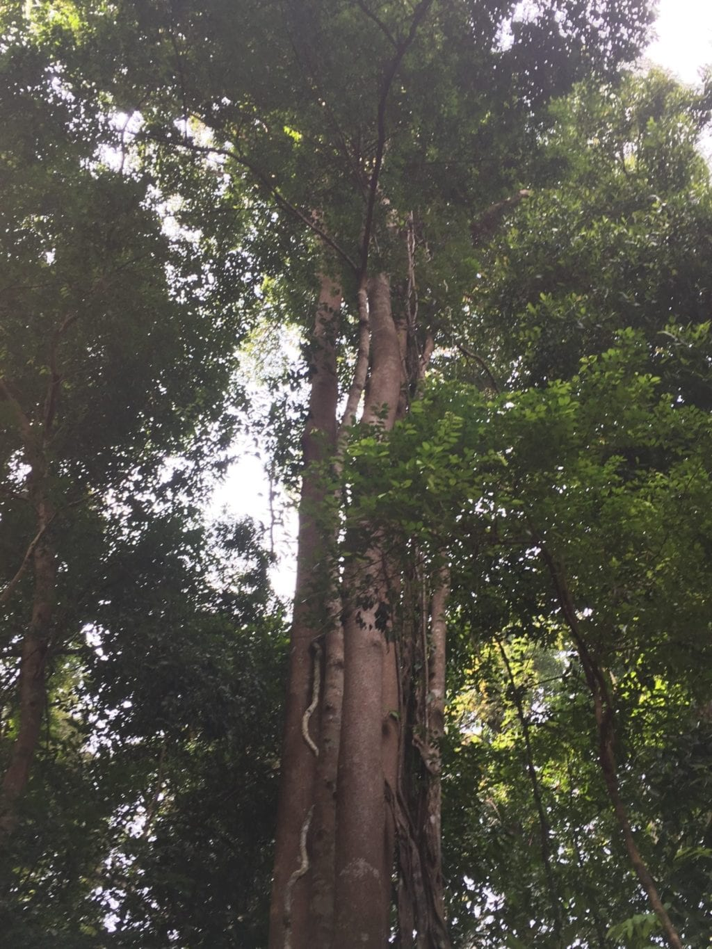 tallest tree in forest with wide tree trunk