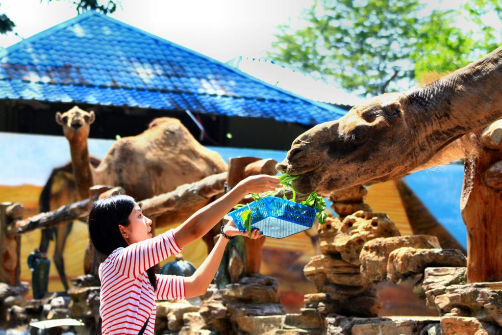 Camel feeding time at the zoo