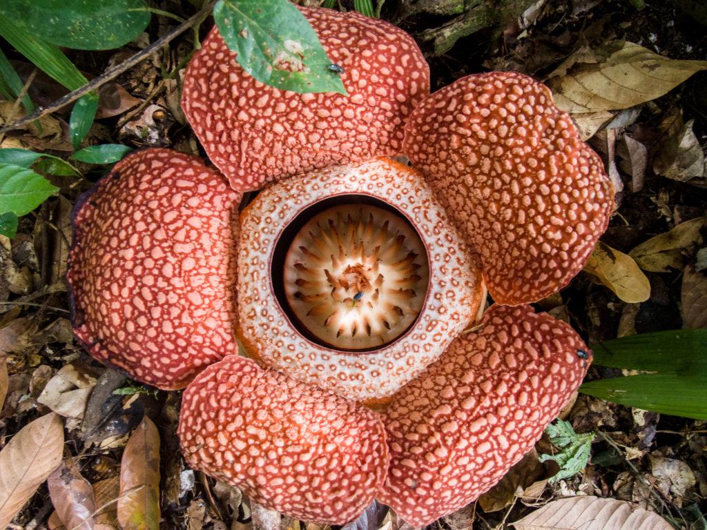 Close-up of Rafflesia