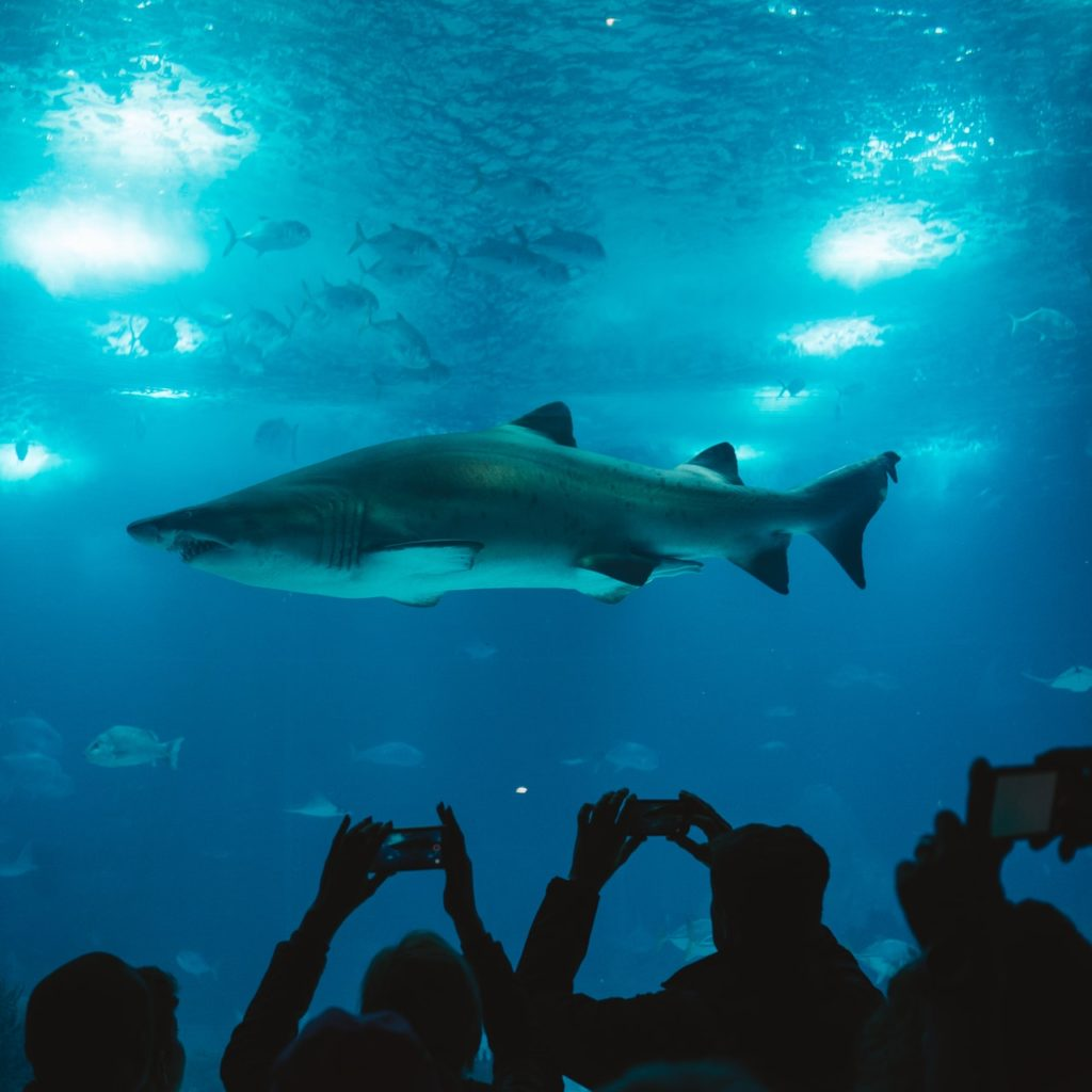 Black tip reef shark in aquarium and silhouettes of photographers at bottom