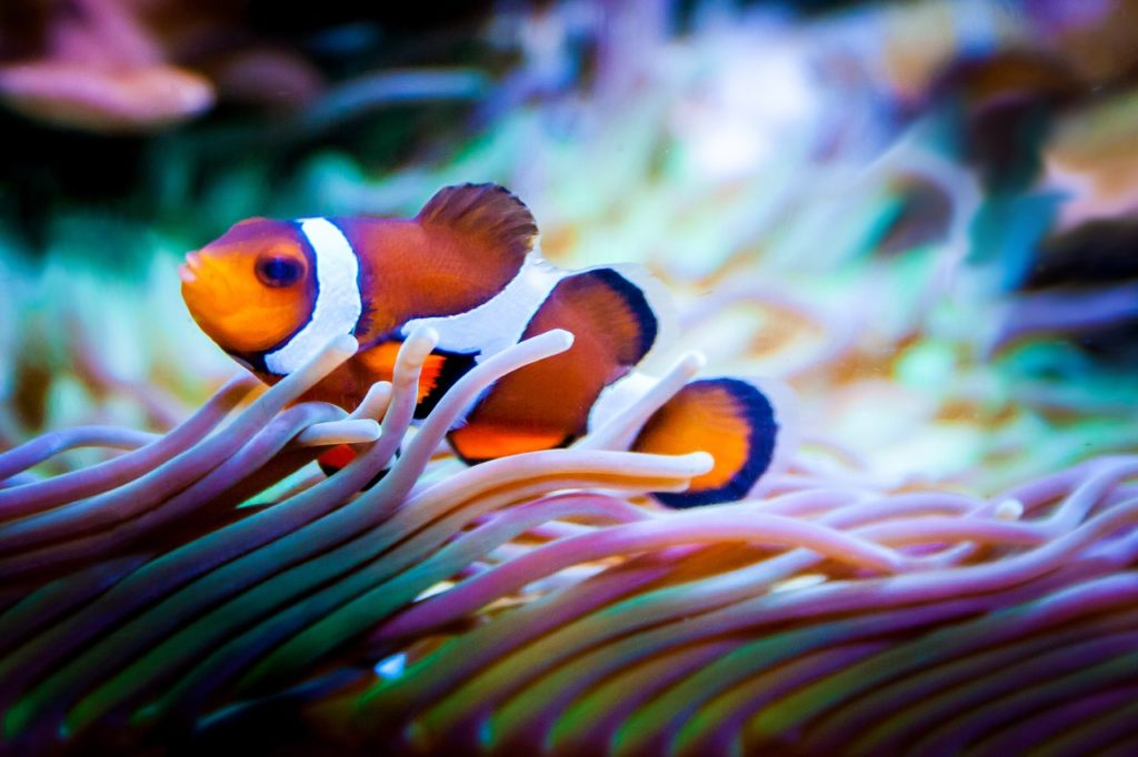 Clownfish in between the sea anemone