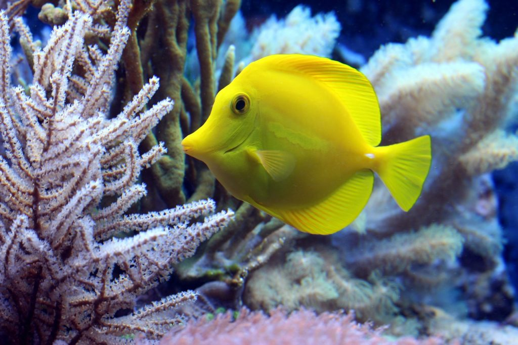 Yellow dory swimming past corals