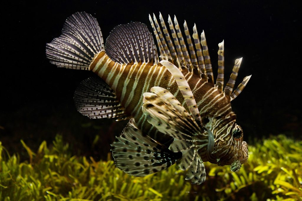 Lion fish swimming in tank