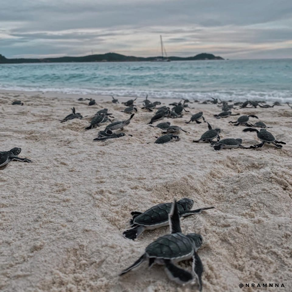 Baby turtles on beach heading to sea